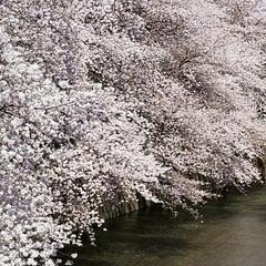 桜満開/お散歩