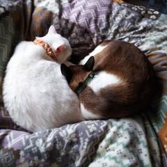 おやすみショット 大吉とちーたんです。いつも寄り添って寝ま…