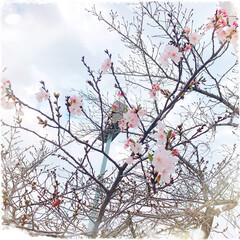 春はもうすぐ/開花/桜/春の一枚 お散歩中に見つけた桜の木。  沢山のツボ…
