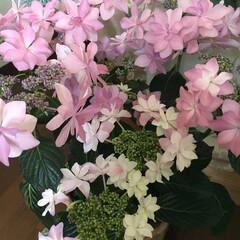 ネーミング/ダンスパーティー/紫陽花 こっちは紫陽花 ダンスパーティーってネー…