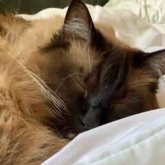 おデブにゃんこ/おデブ猫/ねこ/猫/春のフォト投稿キャンペーン/GW/... こどもの日🎏 我が家の子ども カットしな…