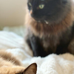 親バカ/しぃちゃん/くうちゃん/ペット/猫/にゃんこ同好会/... 黒いコのたてがみ 年齢と共に茶色くなって…