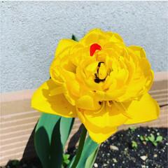 花/チューリップ/暮らし 雑草だらけのプランターに いつ植えたか全…