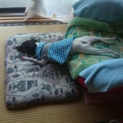 ペット/犬/日本テリア/茶々/やる気なし もう、ダメ〜=͟͟͞͞(๑º ロ º๑)…
