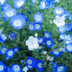 花/ネモフィラ/青/白/女子旅/デート/... 青いネモフィラの中に白のネモフィラ。 青…