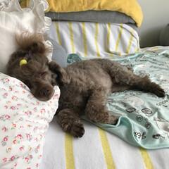 わんこ/サマーカット/睡眠/ペット 夏の『サマーカット』あるある。 暑くても…