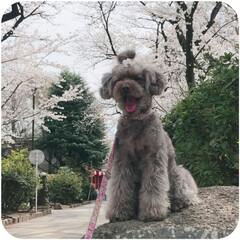 桜/わんこ 桜満開♪笑顔も満開