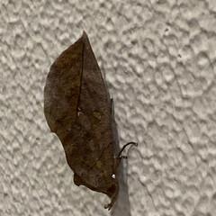 秋/枯葉/虫 垂直の壁に枯葉? 調べてみると『アケビコ…