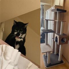 キャットタワー/ペット/猫/にゃんこ同好会 キャットタワーから本棚に登り ソファに座…
