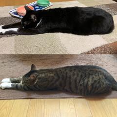 ホットカーペット/ペット/猫/にゃんこ同好会/お昼寝 あっ!シンクロした😊 限りなくホットカー…