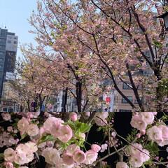 一葉桜/春のフォト投稿キャンペーン うちの周りの通り沿いは一葉桜が満開を迎え…