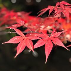 癒し/お出かけ/ライトアップ/紅葉狩り/もみじ/紅葉/... 明日まで紅葉のライトアップをしていると聞…