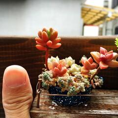 ミニサイズ/寄せ植え/多肉植物/ミニミニ寄せ植え こんなに小さな入れ物でも多肉ちゃんの可愛…
