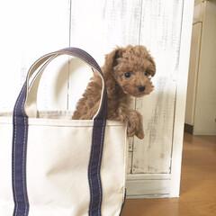 バッグ/愛犬/トイプードル/ペット/犬/秋 うちに来たばかりの頃。小さなトートバック…