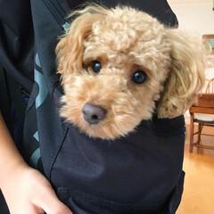 トイプードル/バッグ/かばん/リュック/ペット/犬 リュックにすっぽり。中におやつを仕込んだ…
