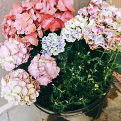 紫陽花 我が家の紫陽花✿ 近所の朝市に出かけてき…