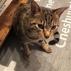 猫ちゃん/ペット 今日の オレオ ฅ^•ﻌ•^ฅ オレオー…