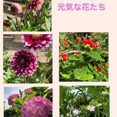 梅雨の晴れ間/今日は晴天/花たち 台風も去って、今日はいい天気🤗 花たちも…