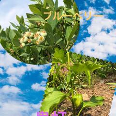 野菜/家庭菜園/おうちごはん 色々、手掛けてる畑。 ブルーベリーの実も…