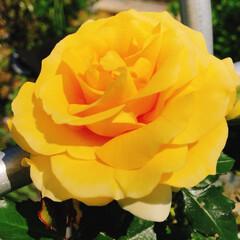 青空美容室/薔薇/コロナに負けるな/がんばれ日本/お家で過ごそう 我が家の薔薇が咲きました🌹  午前中は、…