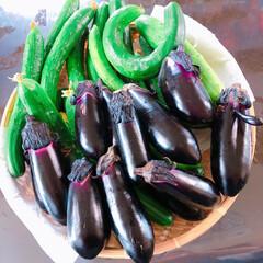 夏野菜/家庭菜園/フード/おうちごはん 大収穫🍆🥒 朝採り野菜😋 中には約40セ…