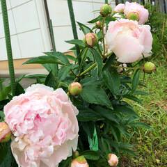 花/グリーン 芍薬咲きました! 長女は学校に🏫 三女は…