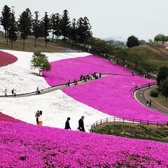 公園/芝桜/花/おでかけ 太田市の芝桜🌸 天気がイマイチで…青空じ…