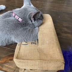 猫とインテリア/猫と暮らすインテリア/猫と暮らす/ロシアンブルー/雑貨/住まい/... ボックスティッシュケースの中にティッシュ…