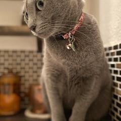 猫と暮らすインテリア/ロシアンブルー/猫とインテリア/猫と暮らす/住まい/暮らし 洗面所で水が飲みたくて出してくれるのを待…