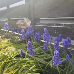 花のある暮らし/ムスカリ/ガーデニング/住まい/暮らし 庭のプランターに植えているムスカリもたく…