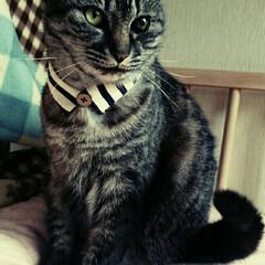 首輪/猫の日/100均/セリア/ハンドメイド/猫 猫の日に襟首輪を新調しました。 セリアの…