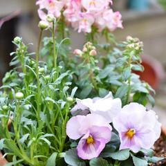 庭づくり/ガーデニング/DIY/雑貨/住まい 春のガーデニング☆ 寄せ植えのポイントは…(2枚目)