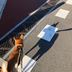 柴犬/散歩中/ペット/犬 朝の散歩中♪ 朝日で黄金色に輝く赤毛が大…