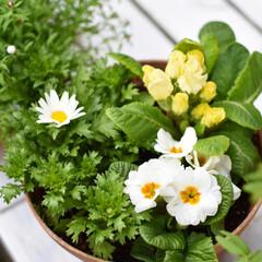 庭づくり/ガーデニング/DIY/雑貨/住まい 春のガーデニング☆ 寄せ植えのポイントは…(3枚目)