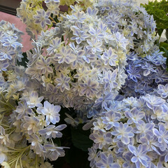 母の日 変わった紫陽花🌷🌹🌺🌻🌼💐 涼し気な色で…