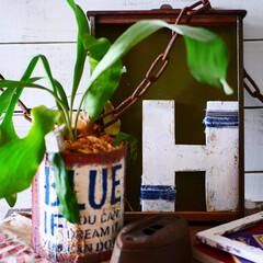 雑貨/雑貨だいすき/木工/男前インテリア/コウモリラン/グリーンのある暮らし/... 玄関に置いているミシン脚テーブルの上。 …