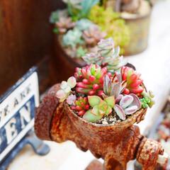 多肉/多肉植物/男前インテリア/ガーデニング/庭/DIY/... 古いミートチョッパーに多肉植物を寄せ植え…