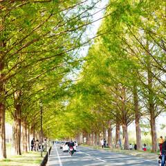 滋賀県/琵琶湖/メタセコイア並木/お出かけ/ドライブ/旅 琵琶湖1週の旅♪  マキタ町のメタセコイ…