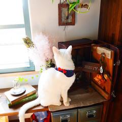 ペット/猫/猫と暮らす/ペットと暮らす/リビング/古道具/... トランクケースにスリスリ。 我が家にはイ…