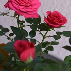 花/美しい/ミニ薔薇 美しい🌹  先日、ミニ薔薇を植えました …