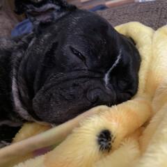 愛犬/お昼寝/フレンチブルドッグ/フォロー大歓迎 皆さんこんにちは^ ^ BOSSです。 …