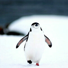動物 ペンギンのペン子ちゃんです!!てくてく歩…