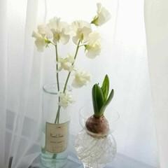 窓辺/春待ち遠しい/春めく/ヒヤシンス水栽培/球根 白いスイートピーと白いヒヤシンス ヒヤシ…