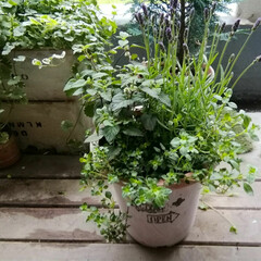 クリーピングタイム/ラベンダー/寄せ植え/暮らし/ベランダガーデニング ラベンダーとハーブ🌿の寄せ植え