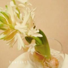 生花 ヒヤシンスの水栽培 簡単でかわいいです🎵…