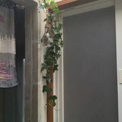 住まい 浴室のドア前に、外で育ててるへデラが長く…