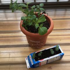 野菜 鉢植えして一週間、鉢も大きいのに変えて、…