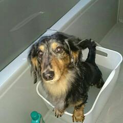 お風呂/ミニチュアダックス/ペット いつも私と一緒にお風呂に入り、バスタブに…