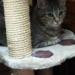 まったり/猫娘 小さなキャットタワーで寛ぐ猫娘