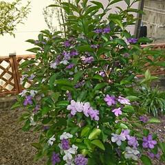 ニオイバンマツリ/花/はな/グリーン ニオイバンマツリの花が増えました! まだ…